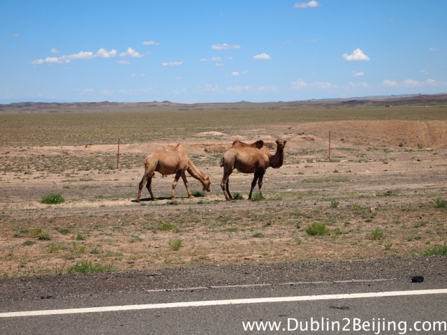 Camels with 2 humps!